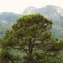 Image of Aztec Pine