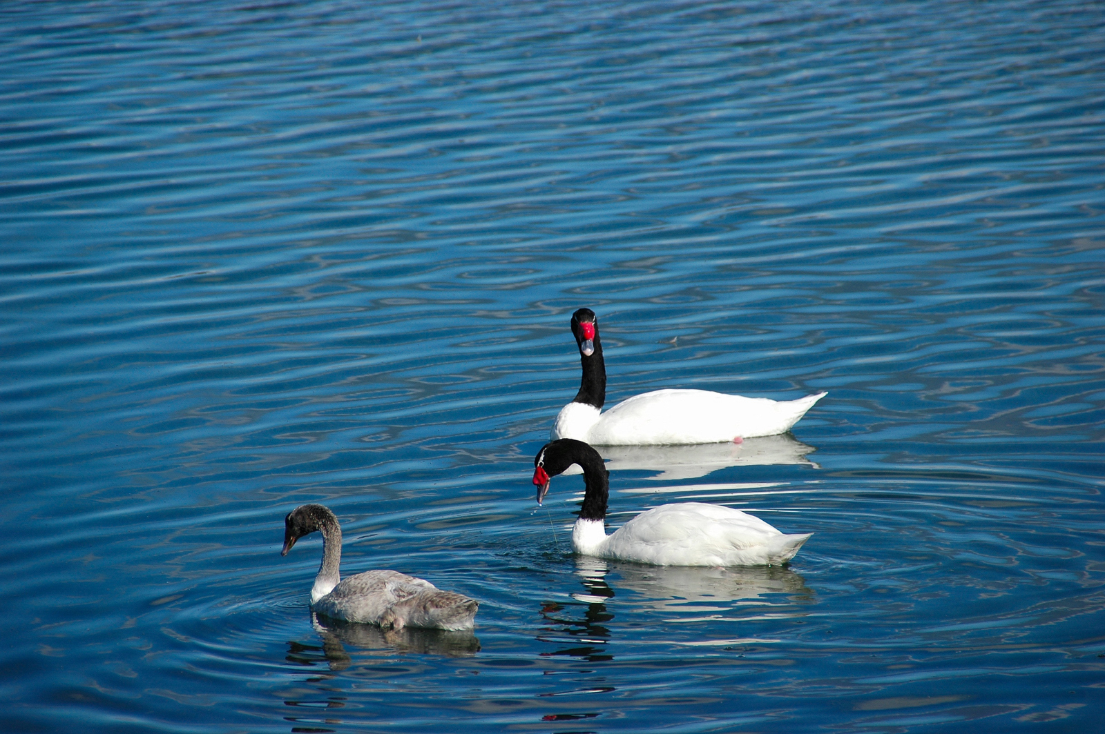 Image of Black-necked Swan