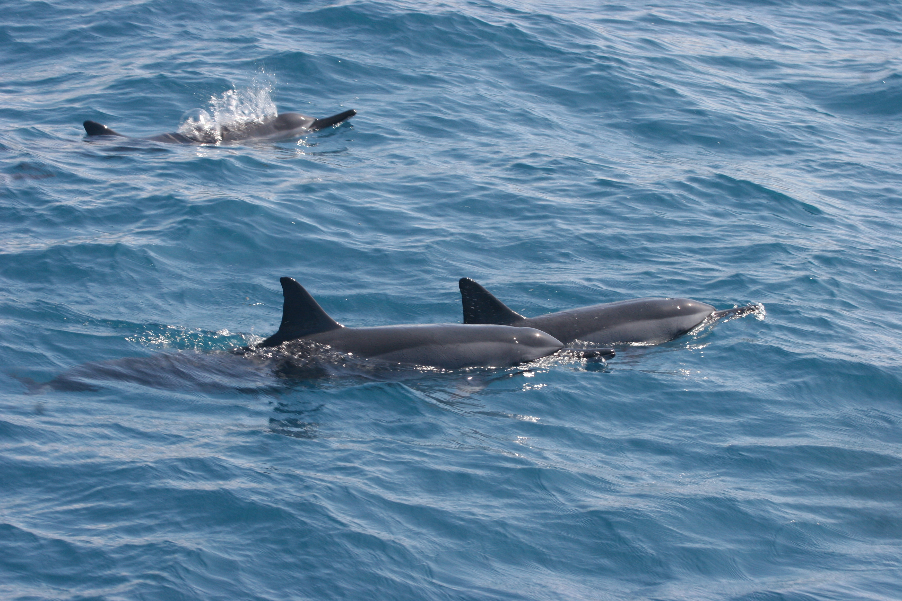 Image of Long-beaked Dolphin