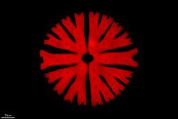 Image of <i>Micrasterias sol</i>
