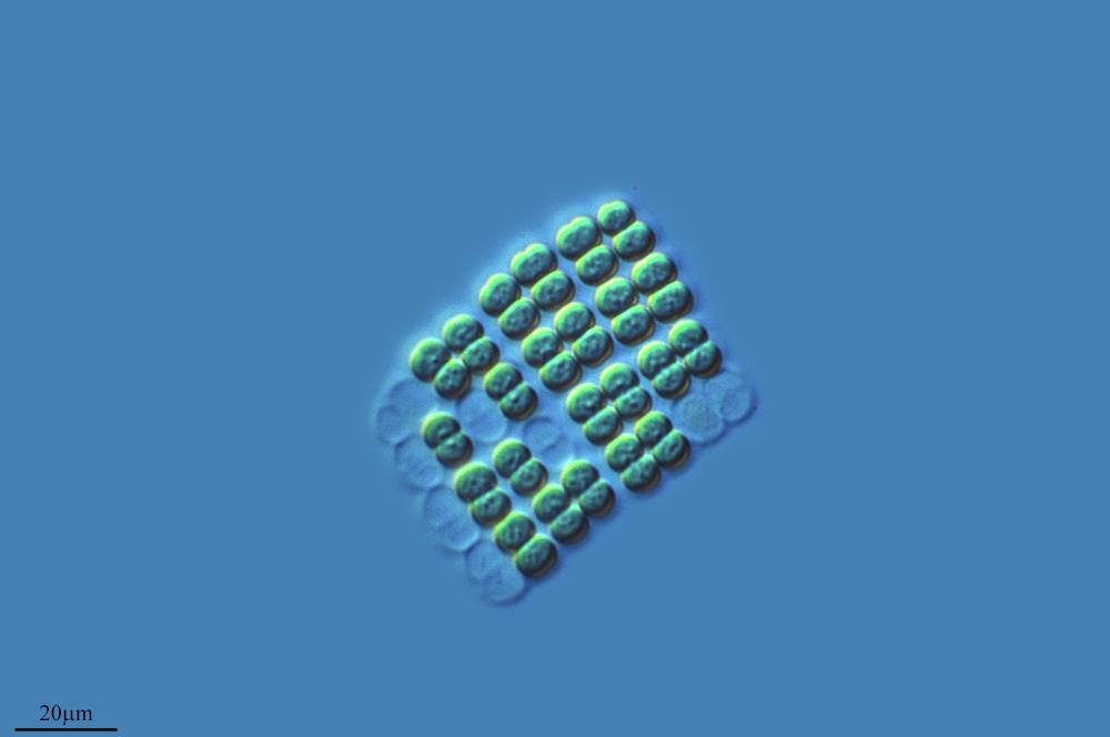 Слика од <i>Merismopedia glauca</i>