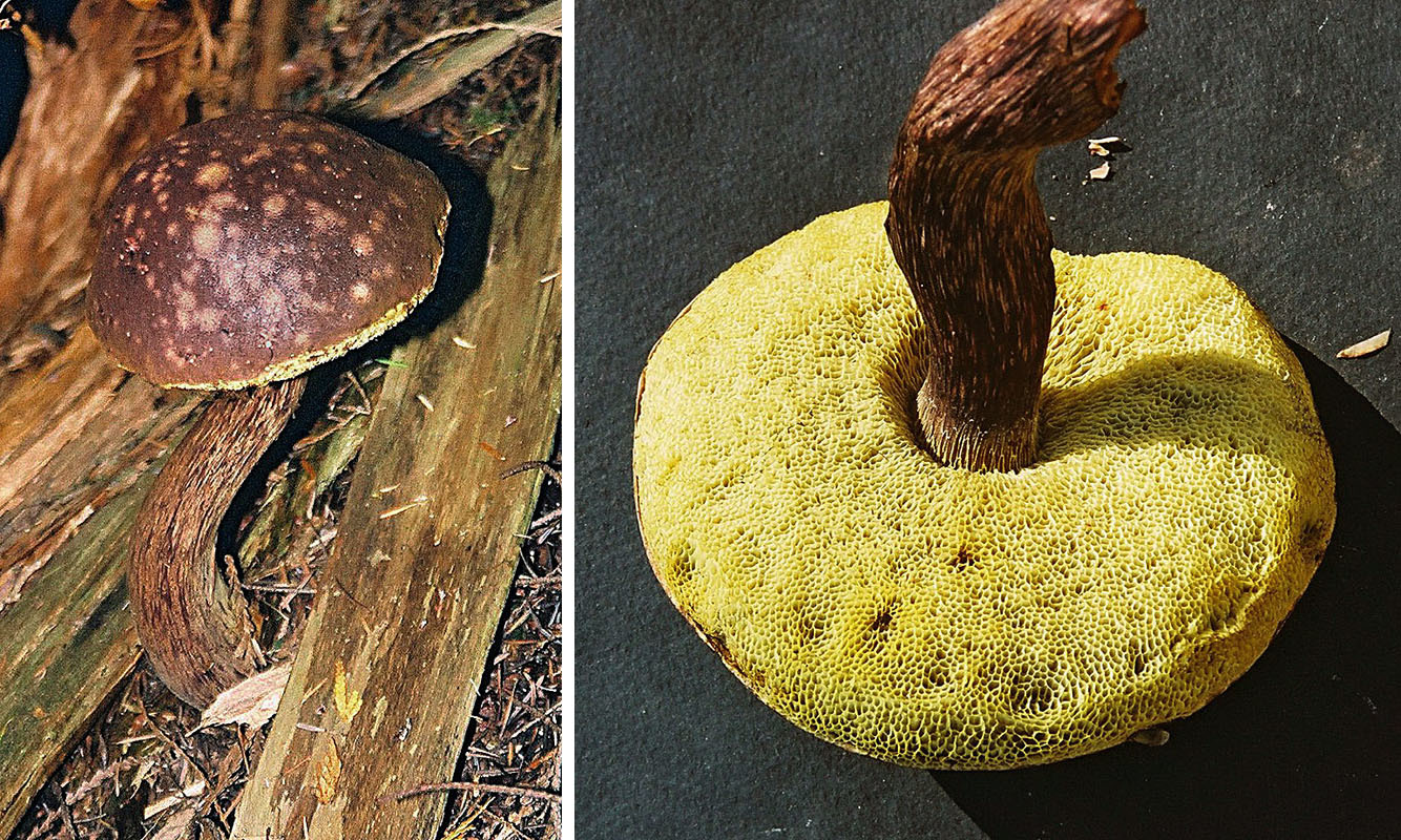 Image of <i>Boletellus mirabilis</i>