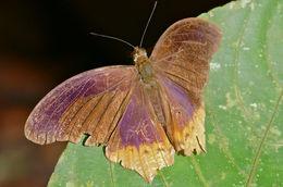Image of <i>Terinos clarissa praestigiosa</i> Fruhstorfer 1915