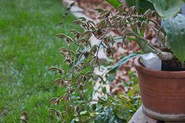 Image of <i>Catasetum</i>