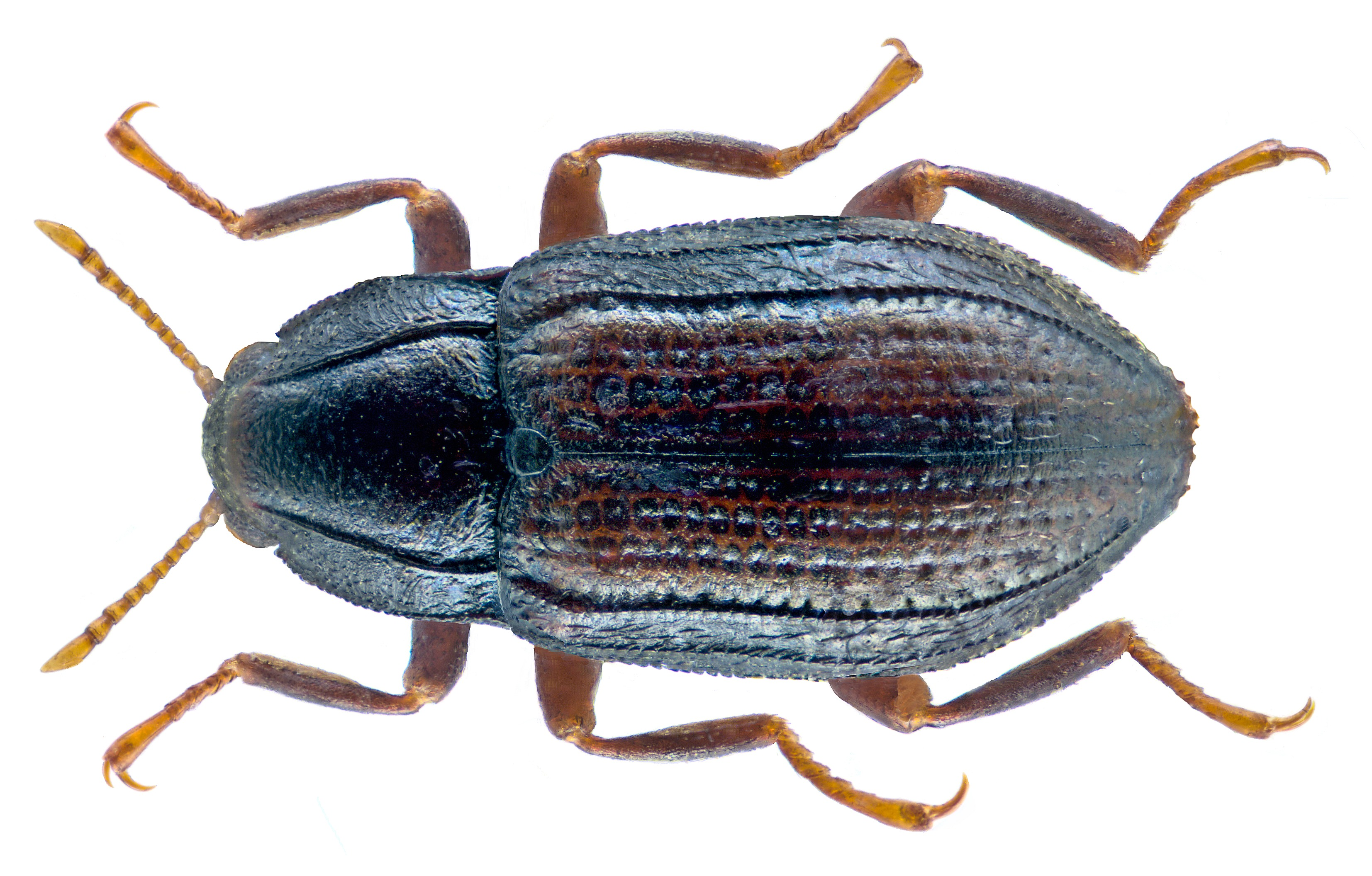 Image of <i>Oulimnius tuberculatus</i> (Muller 1806) Muller 1806