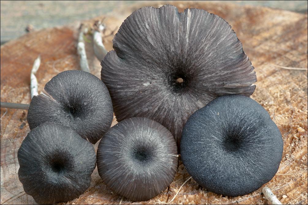 Image of <i>Entoloma serrulatum</i> (Fr.) Hesler 1967