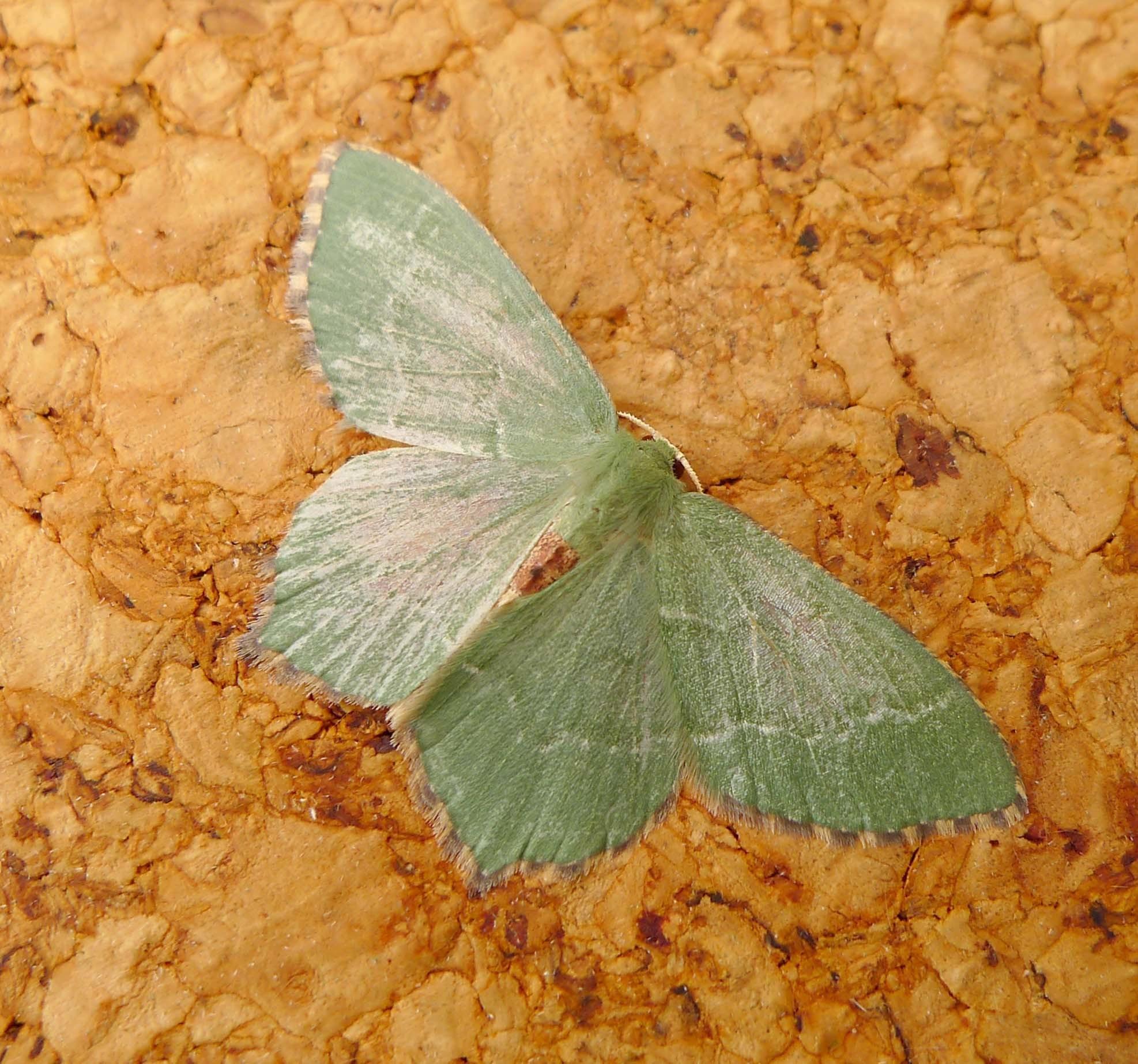 Image of Common Emerald