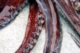 Image of Humboldt Squid