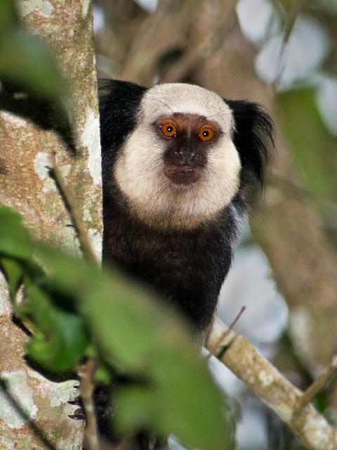 Image of Geoffroy's marmoset