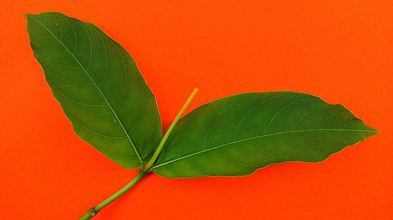 Image of <i>Palicourea marcgravii</i> A. St.-Hil.