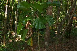 Image of <i>Licuala orbicularis</i> Becc.