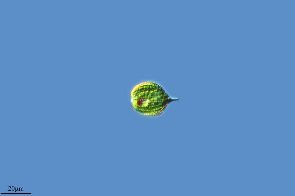 Image of <i>Phacus suecicus</i>