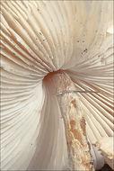 Image of <i>Lepiota oreadiformis</i> Velen. 1920