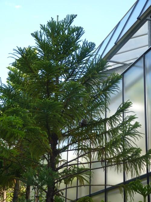 Image of piggyback araucaria