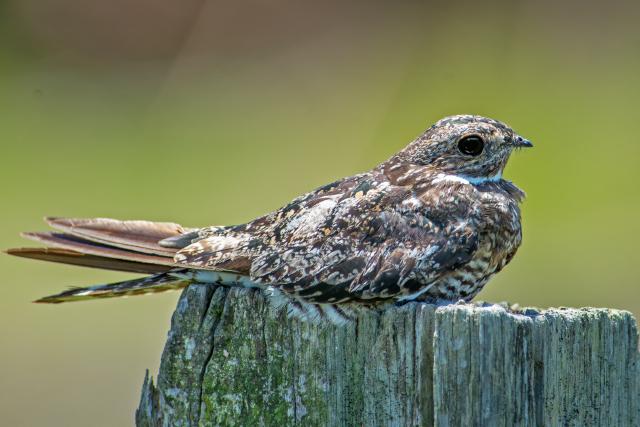 Image of Common nighthawk