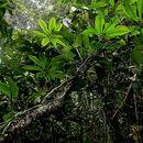 Image of <i>Anthurium pentaphyllum</i> (Aubl.) G. Don