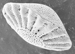 Image of <i>Halkyardia minima</i> (Liebus 1911)