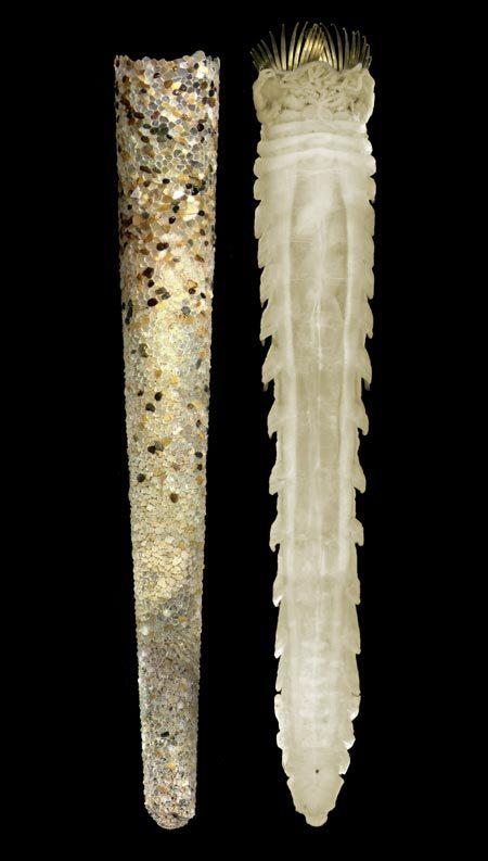 Image of trumpet worm