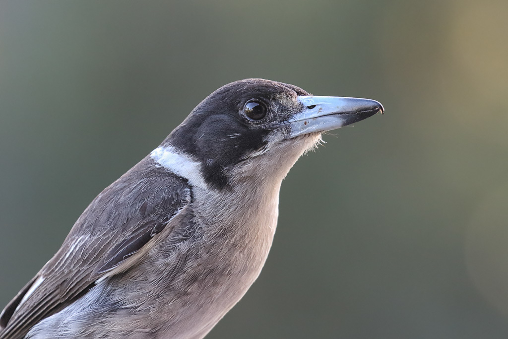 Image of Gray Butcherbird