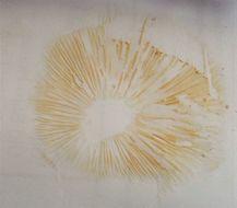 Image of <i>Rhodotus palmatus</i> (Bull.) Maire 1926