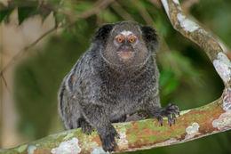 Image of Black-pencilled marmoset