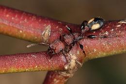 Image of <i>Podomyrma adalaidae</i>