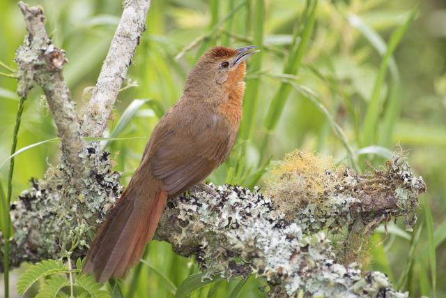 Image of Orange-breasted Thornbird