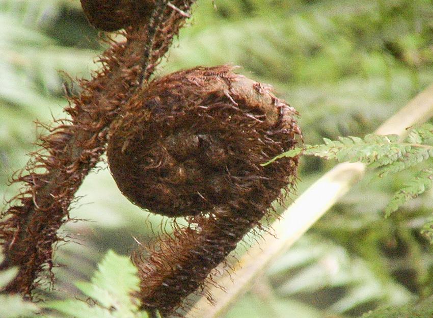 Image of <i>Dicksonia squarrosa</i>
