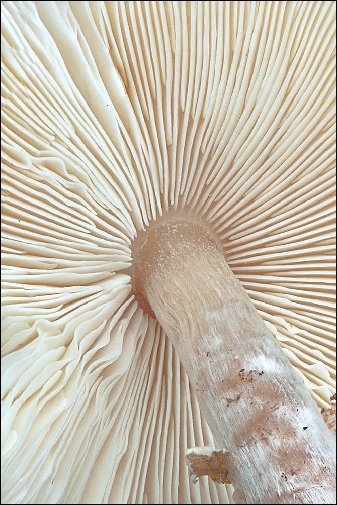 Image of <i>Lepiota cristata</i> (Bolton) P. Kumm. 1871