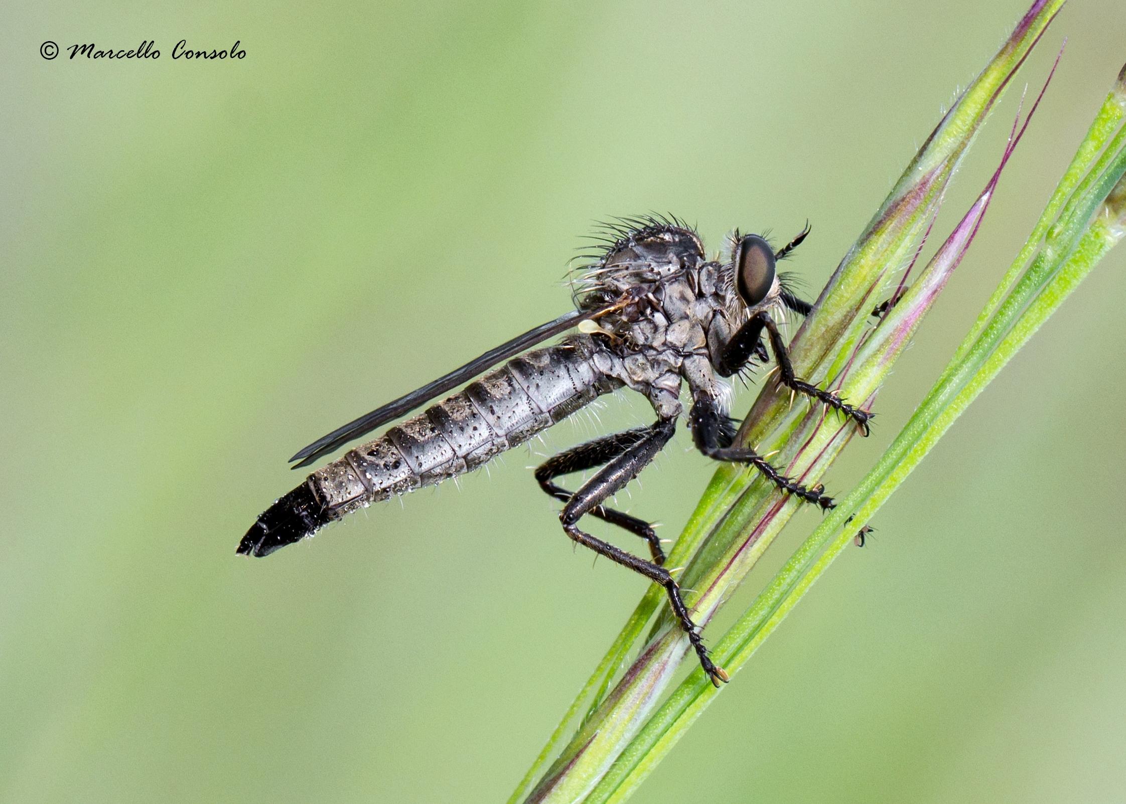 Image of <i>Dysmachus fuscipennis</i>