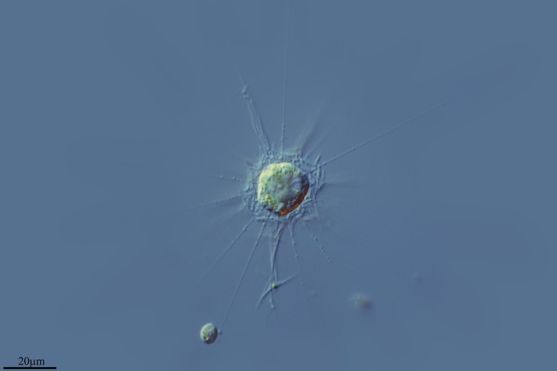 Image of <i>Polyplacocystis pallida</i>