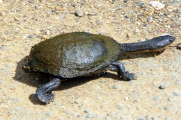 Image of Common Snake-necked Turtle