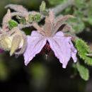 Image of <i>Thomasia montana</i>