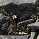 Image of beautiful sandwort