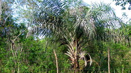 Image of Ouricury palm