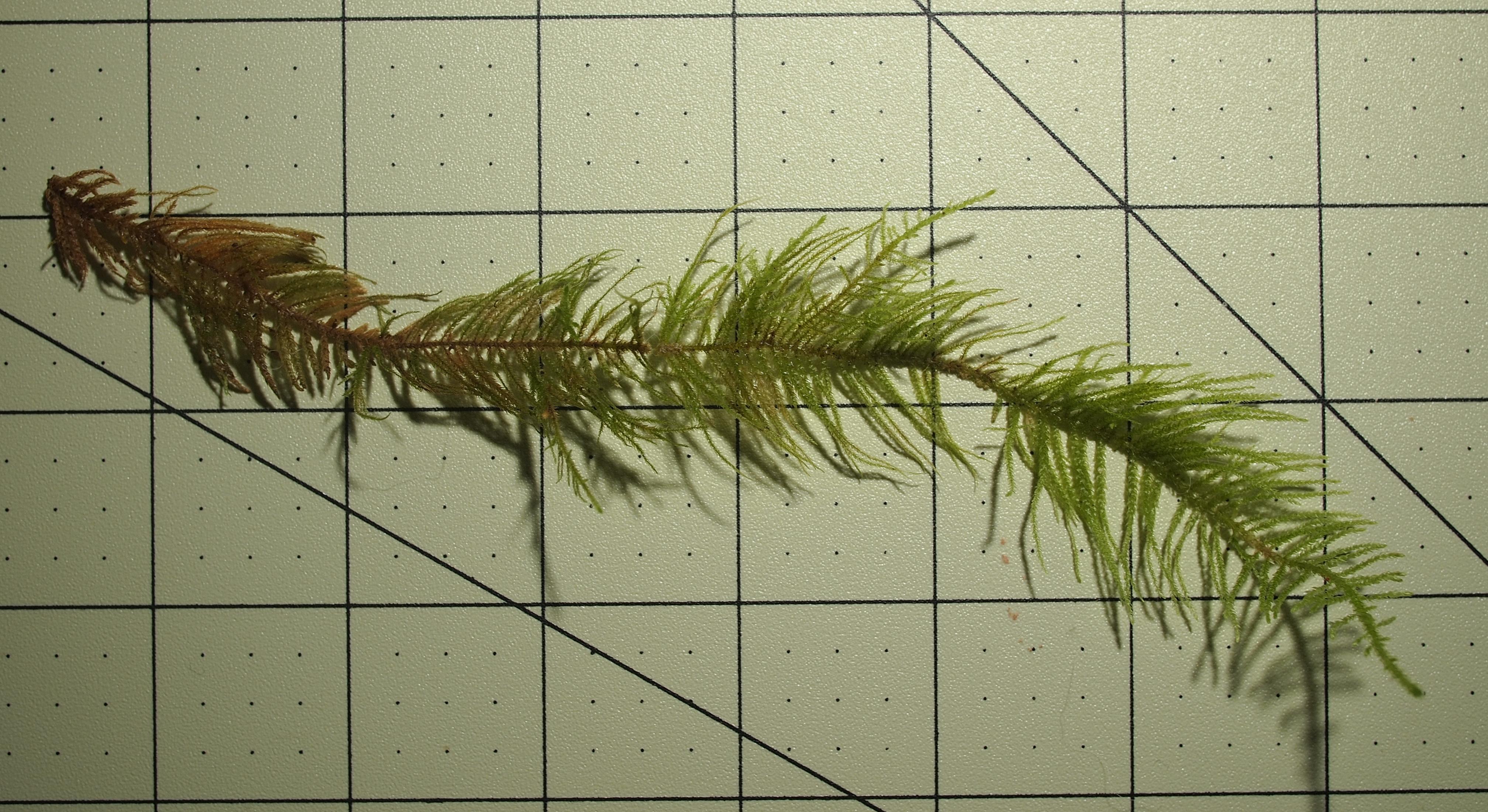 Image of <i>Kindbergia praelonga</i> (Hedw.) Ochyra