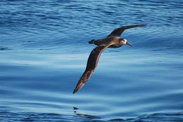 Image of Black-footed Albatross