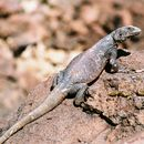 Image of Western Chuckwalla