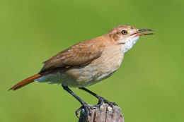 Image of Rufous hornero