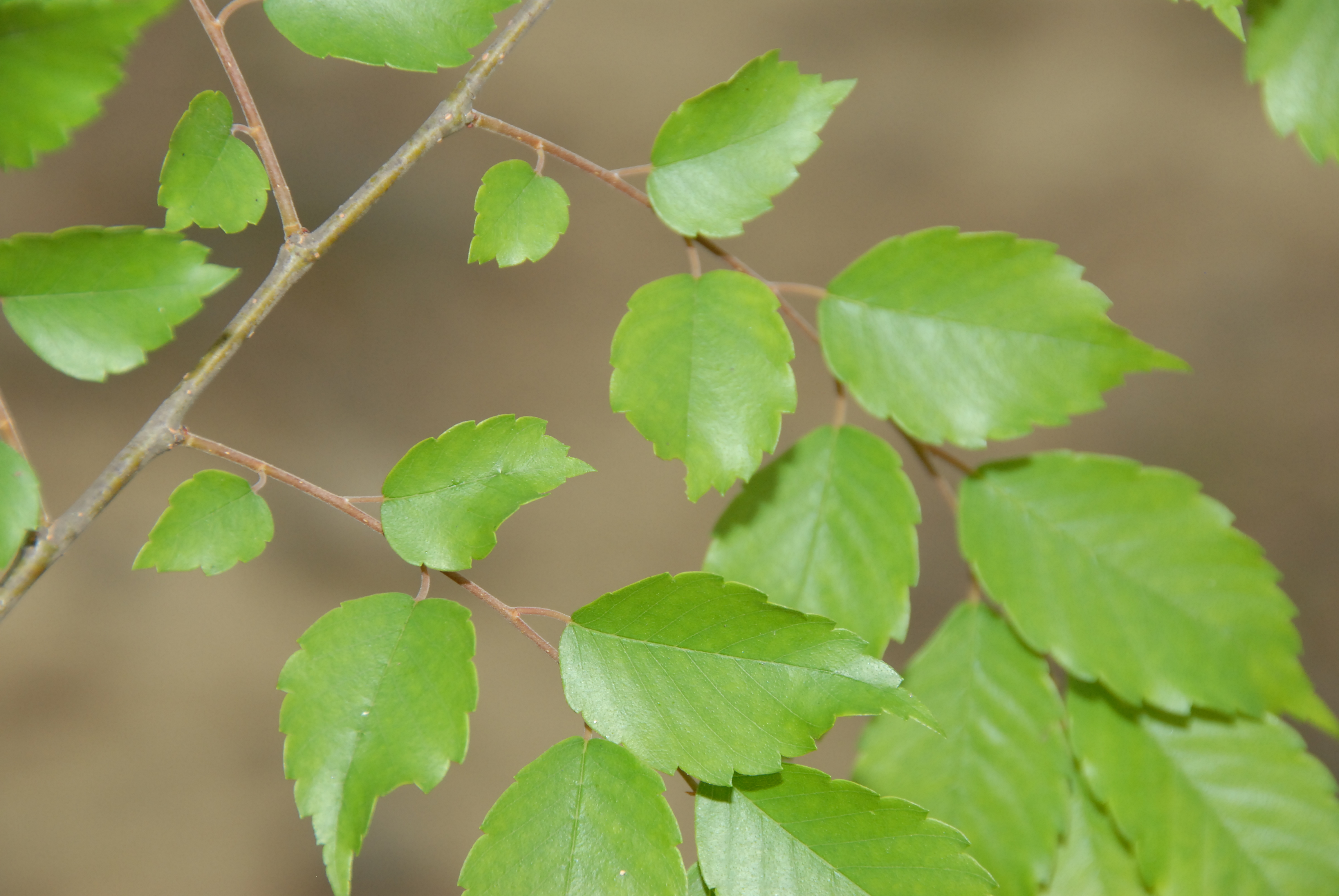Image of <i>Zelkova serrata</i> (Thunb.) Makino
