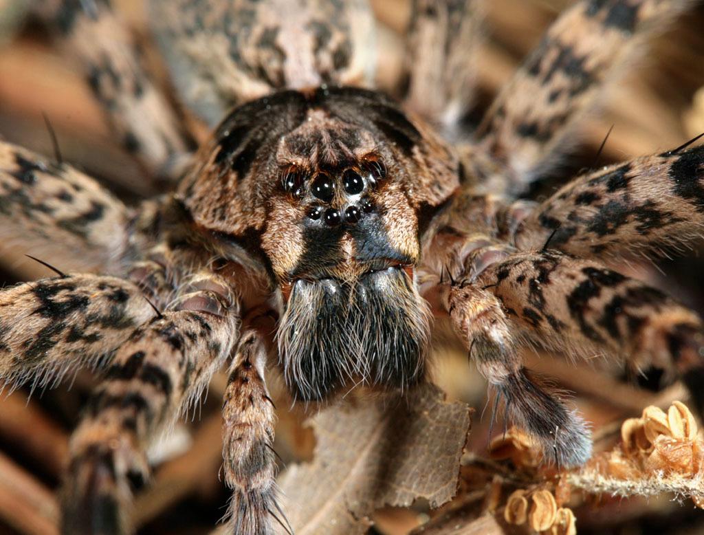 Fishing Spiders Encyclopedia Of Life