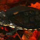 Image of Gibba (Toadhead) Turtle