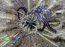 Image of Feather-hitching brittle star