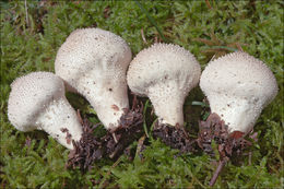 Image of Common Puffball