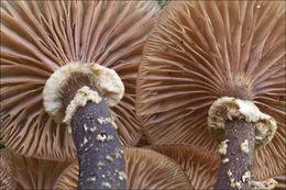 Image of <i>Armillaria ostoyae</i> (Romagn.) Herink 1973