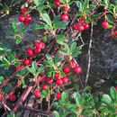 Image of bearberry