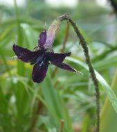 Image of <i>Barbacenia purpurea</i> Hook.