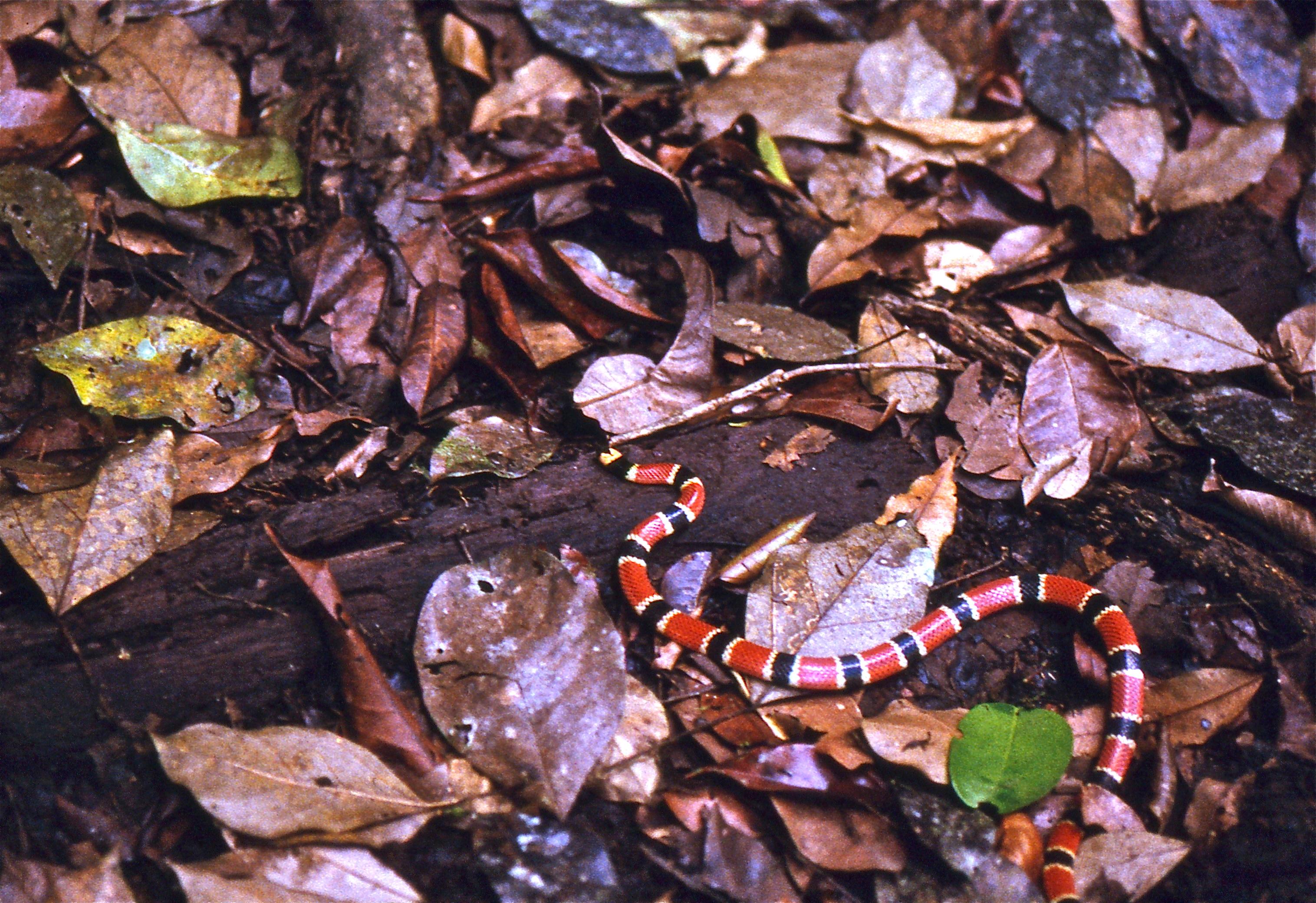 Image of Allen's Coral Snake