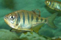Image of <i>Barilius pulchellus</i>