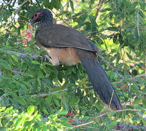 Image of West Mexican Chachalaca